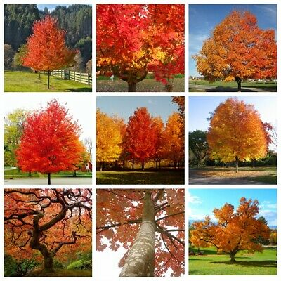 20Pcs Maple Seeds Trees Plants Acer Garden Grow Home Nature Colorful Perennials