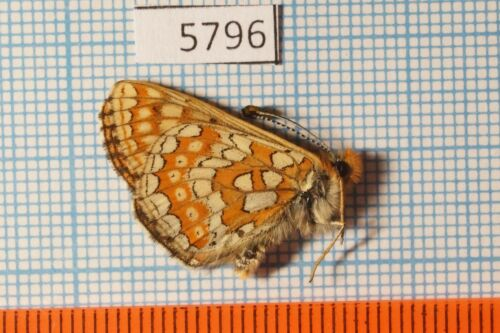 Euphydryas aurinia calima 13m Nymphalidae !PRICE FOR EACH!