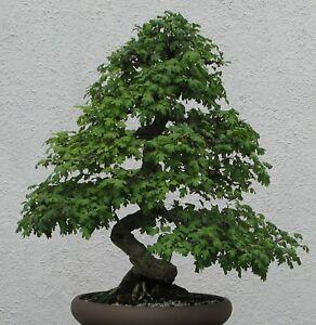 Bonsai-i-WEISSDORN-i-winterhart-frosthart-Obst-Garten-Zimmerpflanze-Saatgut