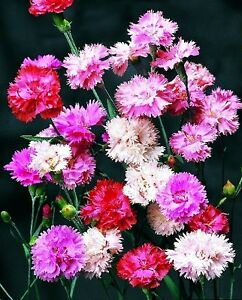 Perennial flower dianthus spring beauty mixed 400 seeds ebay image is loading perennial flower dianthus spring beauty mixed 400 seeds mightylinksfo