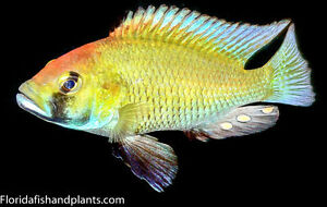 MALE Astatotilapia calliptera 1.5 inch African Cichlid Live fish