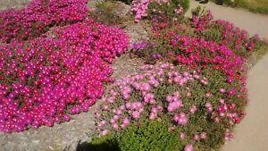 3-varieties-15-Ice-Plant-Delosperma-Cooperi-cuttings-Purple-Magenta-Pink