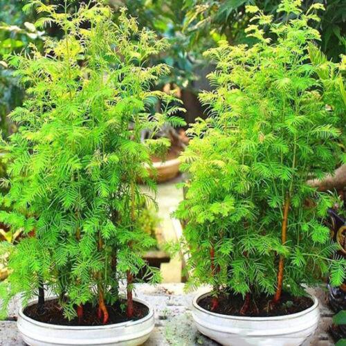Other Seeds Bulbs 60pcs Metasequoia Glyptostroboides Dawn Redwood Bonsai Bonsai Plant Diy Home Home Garden