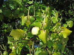 50-Samen-Macropiper-excelsum-Maori-Kava-Kava-Tahiti-Pfeffer-Kawa-Kawa
