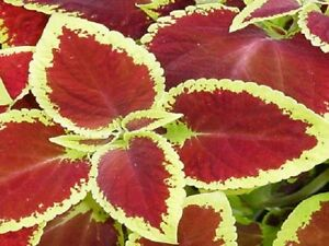 50-Coleus-Seeds-Jazz-Scarlet-Plant-Seeds