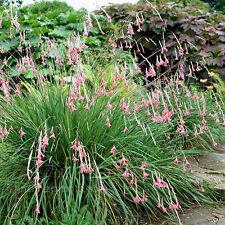 Dierama Igneum 'Angels Fishing Rod' - 10 Seeds - Hardy Perennial Flower