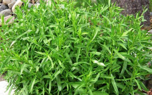 Estragon Artemisia Dracunculus 2000 Graines Seeds