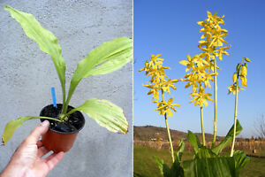 Calanthe-sieboldii-orchidee-Orchid
