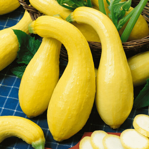 25 Yellow Crookneck Squash Seeds Heirloom NON-GMO Open Pollinated