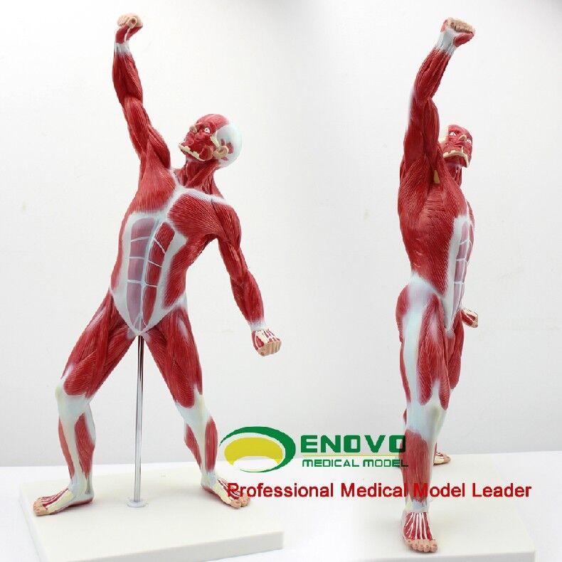 52cm21muscle Anatomy Medical Mini Desktop Full Body Human Muscle