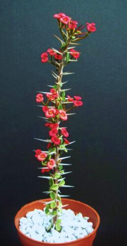 Euphorbia guillemetii hybrid exotic rare madagascar bonsai caudex seed 10 seeds