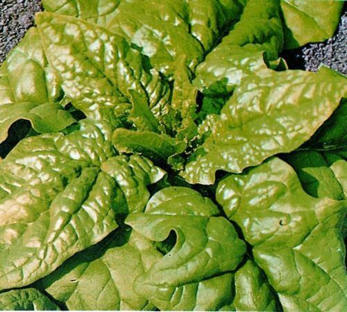 Kings Semences-Légumes-épinards Matador 225 graines