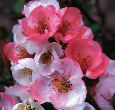 Healthy Established Roots Spitfire Flowering Quince Potted Plants 3 Plants