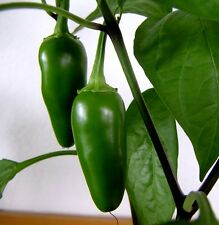 30++ JALAPENO HOT PEPPER ORGANIC SEEDS
