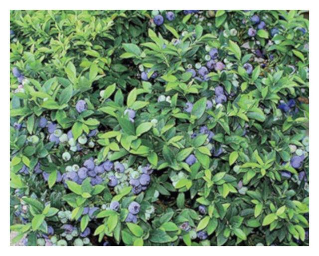 Top Hat Blueberry Dwarf Perennial Gallon Pot 1 Plant