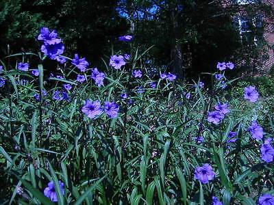 25!! MEXICAN PETUNIA RUELLIA BRITTONIANA PERENNIAL PLANTS SHRUB FLOWER LANDSCAPE