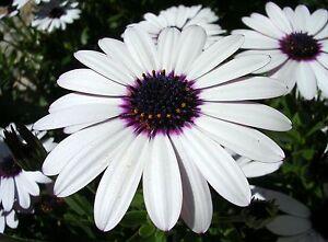 PERENNIAL-FLOWER-OSTEOSPERMUM-ECKLONIS-SKY-AND-ICE-600-FLOWER-SEEDS