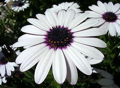 PERENNIAL FLOWER OSTEOSPERMUM ECKLONIS SKY AND ICE 600 FLOWER SEEDS