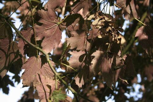 Acer Pseudoplatanus Cv Purpureum 15 Seeds 15 Seeds