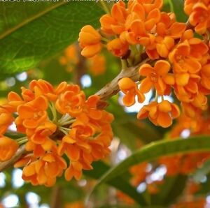 Red Sweet Olive Osmanthus Fragrans 5 Seeds Fragrant