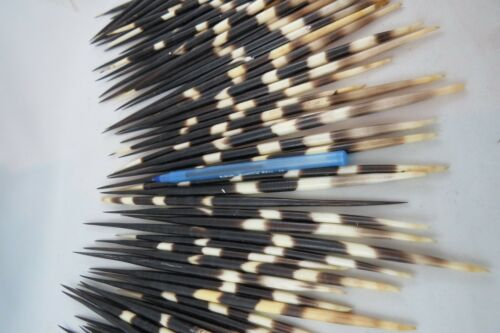 LARGE Porcupine Quills Taxidermy REAL Ideal for arts /& Crafts