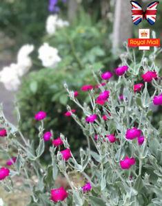 Seeds Rose Campion Lychnis coronaria 100