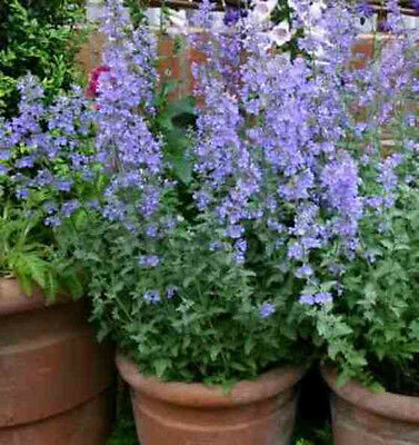 CATMINT 100 seeds HERB garden purple flower perennial GOOD IN POTS cats love it!