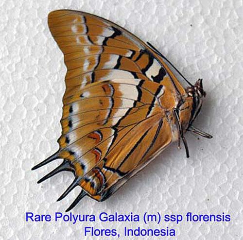 Indonesia Very Rare Nymphalidae Galaxia sp florenisis - Flores Island m