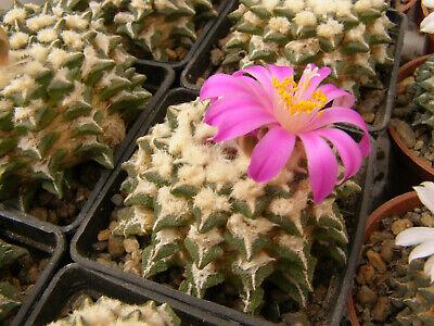 Ariocarpus kotschoubeyanus X fissuratus 50 seeds