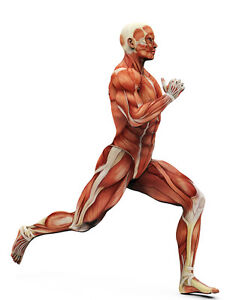 a3 poster - muscle layout of the human body running (picture, Muscles