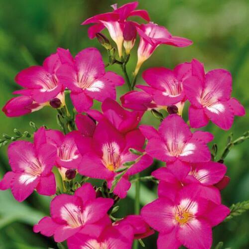 Free UK Postage 5 x Pink Freesia Bulbs To Plant Yourself