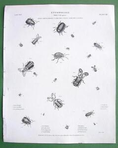ENTOMOLOGY-Beetles-Genus-Pausus-Leaf-Order-Coleoptera-Antique-Print-A-REES