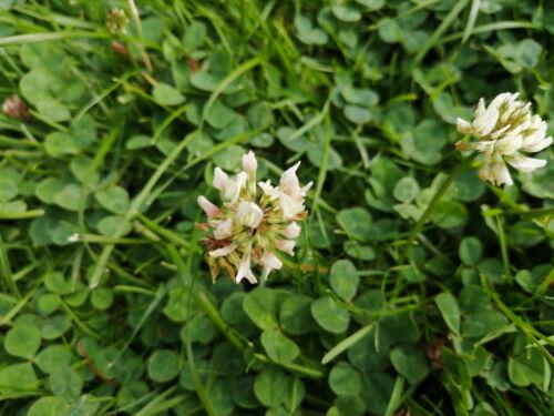 White Dutch Clover Trifolium repens 10000 Seeds 12g Perennial Non-GMO Cover Crop