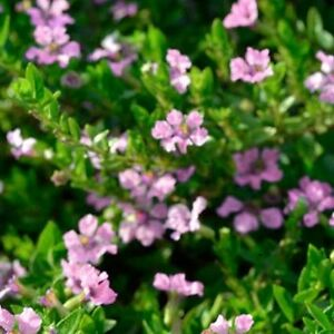 Image Is Loading Jocelyn 039 S Pink Cuphea Hyssopifolia Dwarf Small