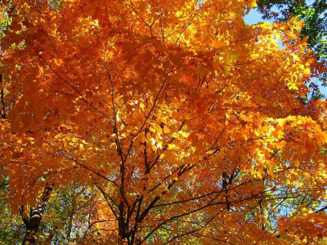 ACER SACCHARUM, SUGAR MAPLE SYRUP - approx 50 gms 500 seeds for only £15