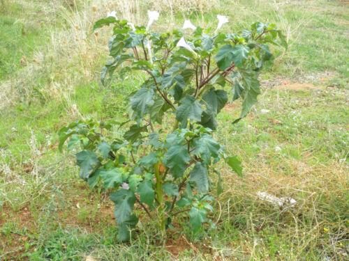 Jimsonweed Datura stramonium - 200 // 500 // 1500 seeds Gift