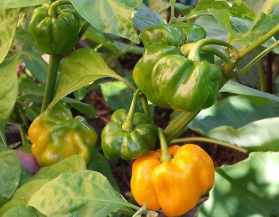 Extreme Hot /& Fruity Flavoured Chilli Trinidad Congo White A Rare Oz Grown