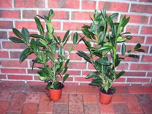40 Kirschlorbeer Pflanzen 40 50 Cm Ab Topf Prunus Caucasica Hecke
