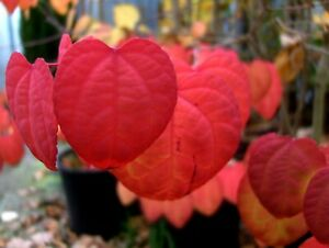 Lebkuchenbaum-Katsurabaum-Cercidiphyllum-japonicum-70-80cm