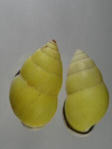 Amphidromus-dohrni-Nice-set-from-Vietnam
