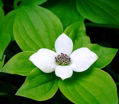 Bunchberry Dogwood .... 20 Seeds