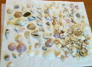 LOT-SEA-SHELLS-SMALL-TO-MEDIUM-VARIOUS-SPECIES-EXCELLENT-COLLECTION