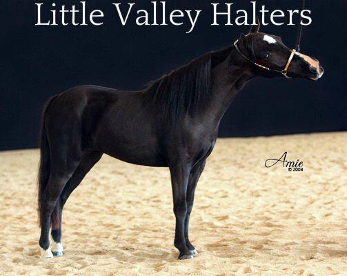 Miniature Horse, Mini Pony beaded cable show halter SMALL