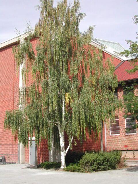 Bonb E2715 Weeping White Birch Bonsai Tree Betula Pendula For Sale Online Ebay