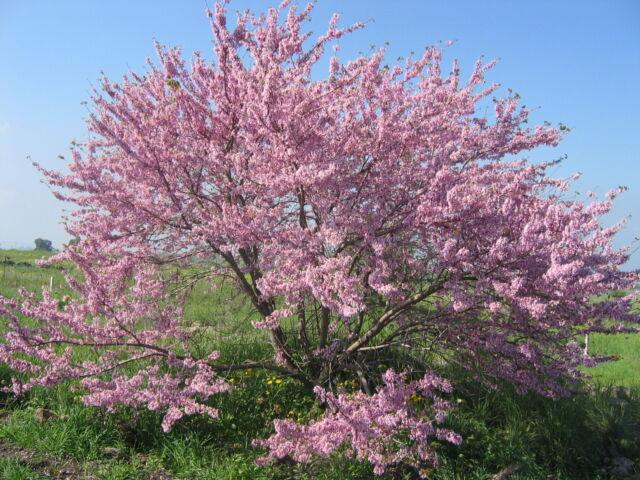 Judas Tree - Cercis Siliquastrum - 25 Seeds - Attractive Pink Flowers