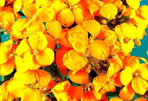 Mauerblümchen Golden Bedder Zweijährlich Ca 1000 Samen
