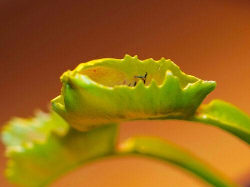Carnivorous plant Dionaea muscipula Wacky Trap In Vitro