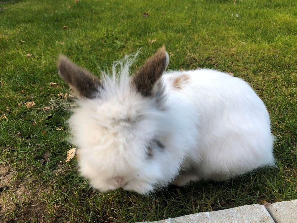 Kanin, Løvehoved , 5 år