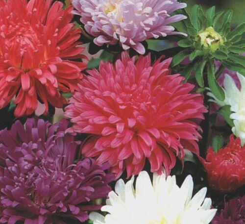 Aster 250 Seeds Flower Carousel Blended Mixed