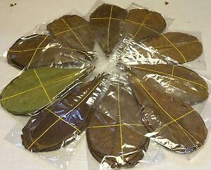 50-Seemandelbaumblaetter-ca-10-15cm-Catappa-Leaves-in-Tueten-Garnelen-Diskus